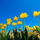 Tulip Tableaux by Robert Meyer