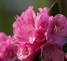 Pink Azaleas by James Brotherton