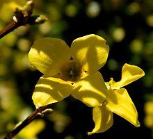 Forsythia Bloom     ^ by ctheworld