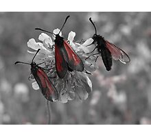 Red and gray photo of insects on a flower Photographic Print