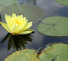 Another Water Lily by Carol Bailey-White
