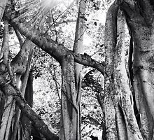 Ficus Altissima In Black And White by ksimmonsluna