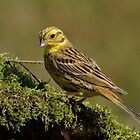 Yellowhammer (Emberiza citrinella Linnaeus) by Peter Wiggerman