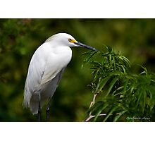 Great White Egret Photographic Print