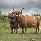 Highland Cows by Henri Ton
