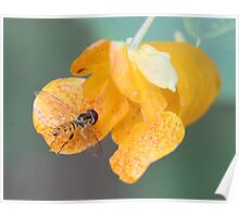 Hover fly on Touch-Me-Not Flower Poster