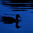 Magical Mallard at Sunset... by Carol Clifford