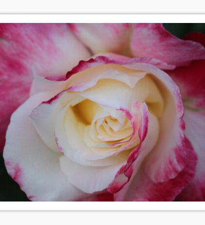 Pretty Tea Rose..... Sticker
