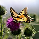 Swallowtail on Bull Thistle by Kathleen Daley