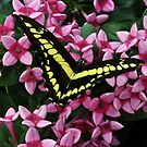 Swallowtail on Pink Flower by Karen Martin