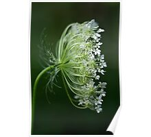 Profile of a Queen - Queen Anne's Lace Wildflower Poster