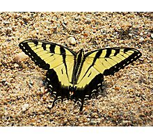 Yellow Tigerfly Photographic Print