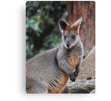 Red-necked wallaby Canvas Print