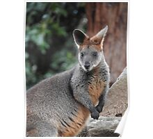 Red-necked wallaby Poster