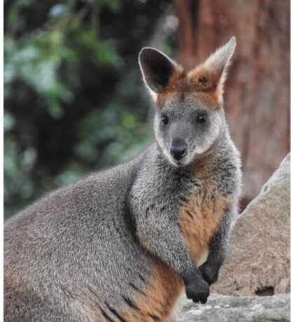 Red-necked wallaby Sticker