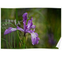 Free Ranging Wild Iris Poster