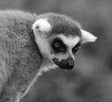 Lemur by Andrew Good