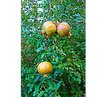Desert Study 18-Pomegranates  Photographic Print