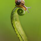 Snail on a curly grass by JBlaminsky