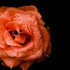 Rose on a black background by Anastasia E
