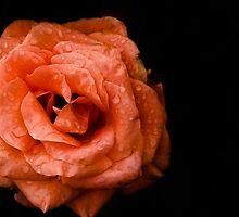 Rose on a black background by Anastasia E