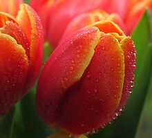 Tutti Frutti Tulips! by NaturesTouch
