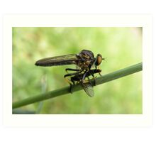 Robber Fly with Lunch Art Print