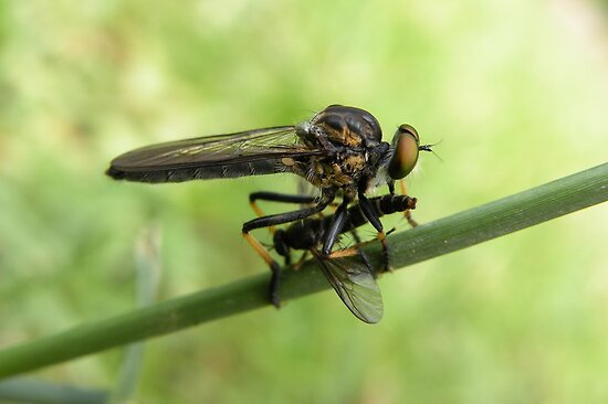 Robber Fly with Lunch by Trish Meyer