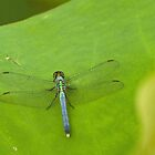 Dragonfly on lotus leaf by Thad Zajdowicz