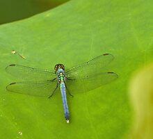 Dragonfly on lotus leaf by Thad Zajdowicz