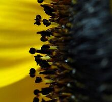 Sunflower - sunny side  by rosie320d