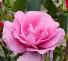 Pale Pink Rose Sticker