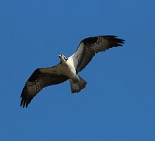 Osprey in flight   by hummingbirds
