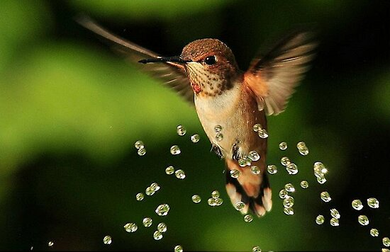 ..TINY BUBBLES....Rufous Hummingbird...by Marie Will by RoseMarie747