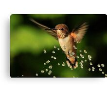 ..TINY BUBBLES....Rufous Hummingbird...by Marie Will Canvas Print