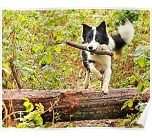 Border Collie - Fetch Poster