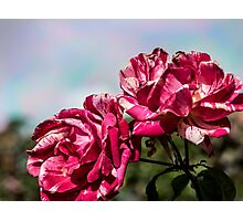 2 Variegated Roses Photographic Print
