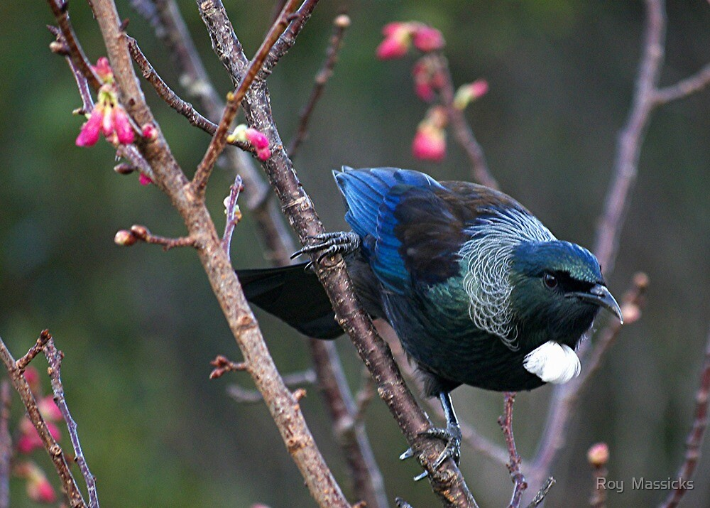 Tui........Mr nosey parker.......! by Roy  Massicks