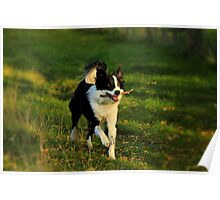Border Collie - Evening Walk Poster