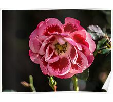 Rose, a small variegated gem Poster