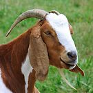 Billy Goat by RickDavis