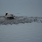Pelican Splash Down by Scott Dovey