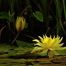 Yellow Water Lily #337 by Larry Costales