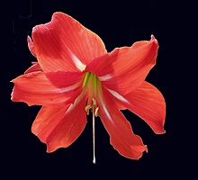Scarlet Lily on Black Background by MidnightMelody