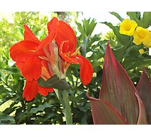 Red Canna Lily Photographic Print