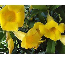Yellow Alamanda Flowers Photographic Print