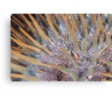 An Emperor's Crown of Thorns Canvas Print