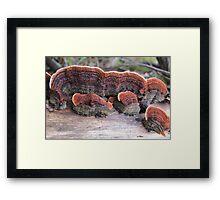 Stereum Illudens on a eucalypt branch Framed Print