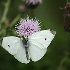 Small White On Thistle by Adrian Wale