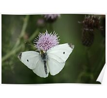 Small White On Thistle Poster